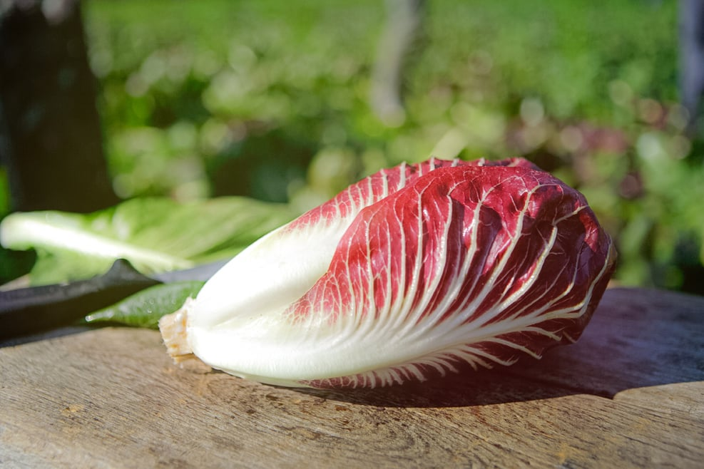 Red chicory
