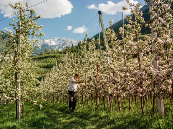 Spring in Val Venosta:<br>the magic of apple trees in blossom