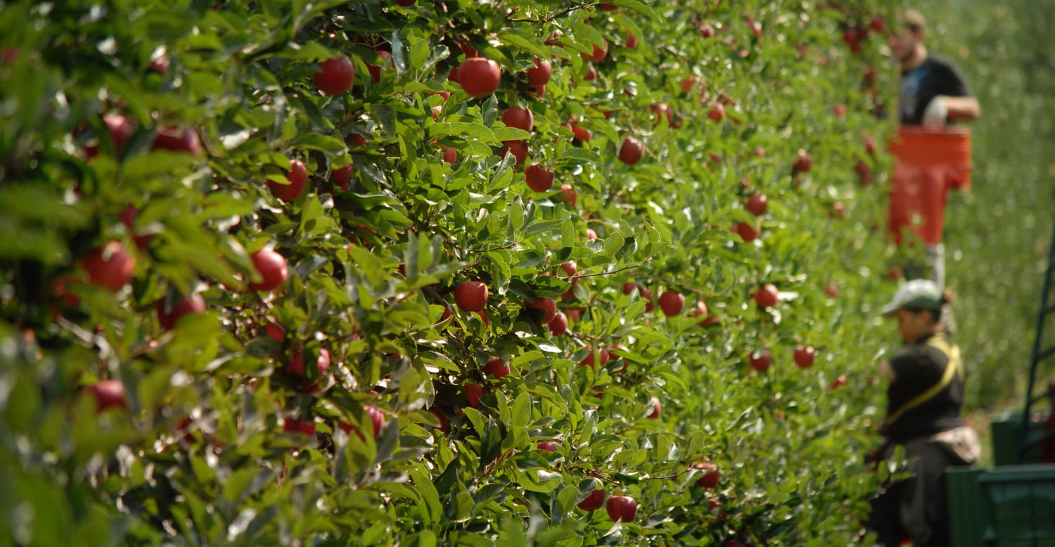 The apple harvest<br>is on